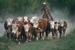 Cowboyherd