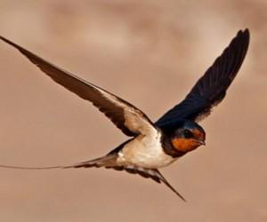 lawnswallow