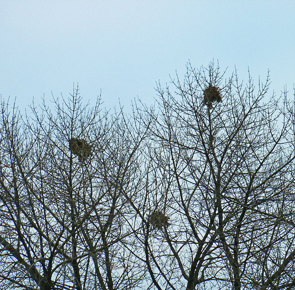 squirrel-nests