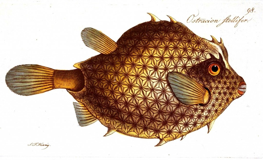mulefish
