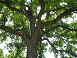 walnutree